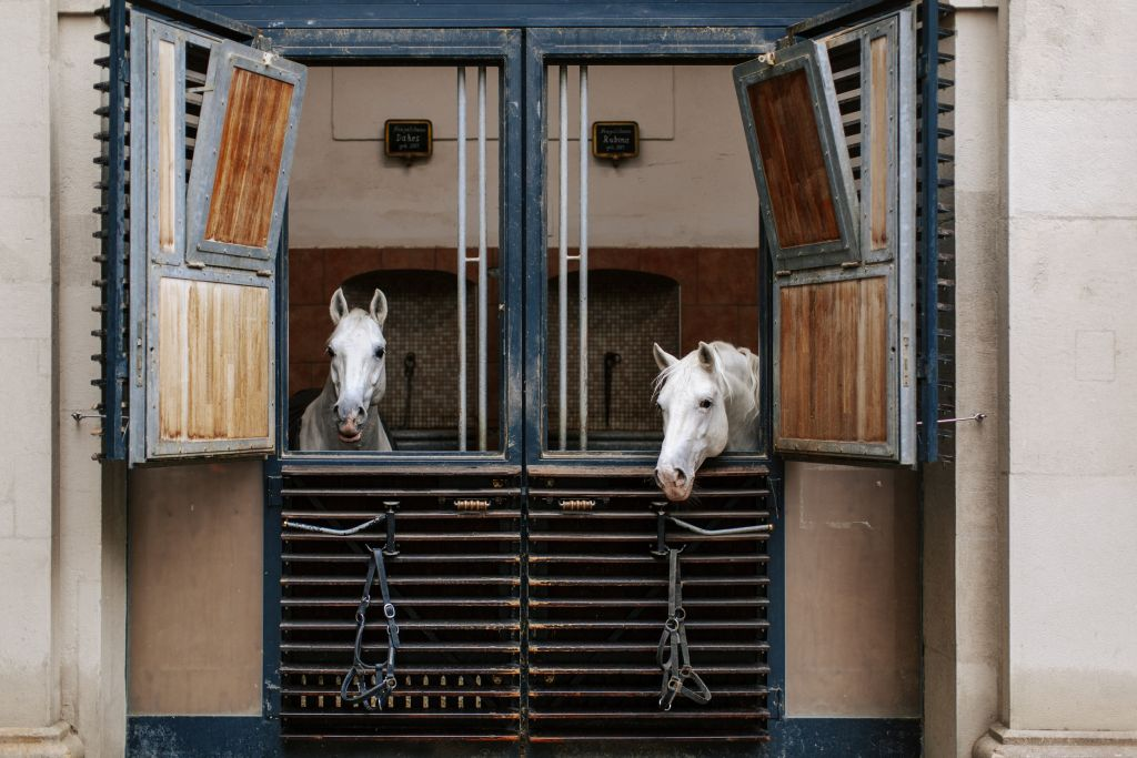 Two Lipizzaer at the stables of the Spanish Riding School in Vienna